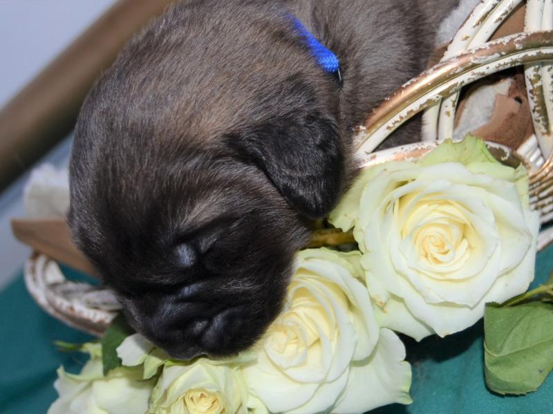 blue_rose2